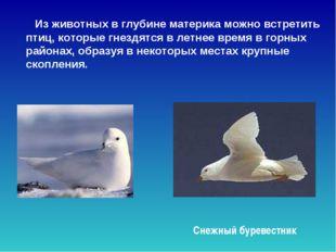 Из животных в глубине материка можно встретить птиц, которые гнездятся в лет