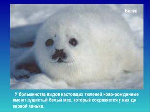 Белёк У большинства видов настоящих тюленей ново-рожденные имеют пушистый бел