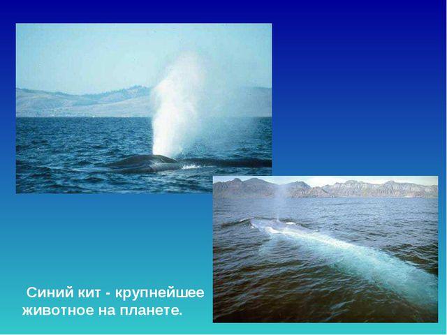 Синий кит - крупнейшее животное на планете. Синий кит - крупнейшее животное...