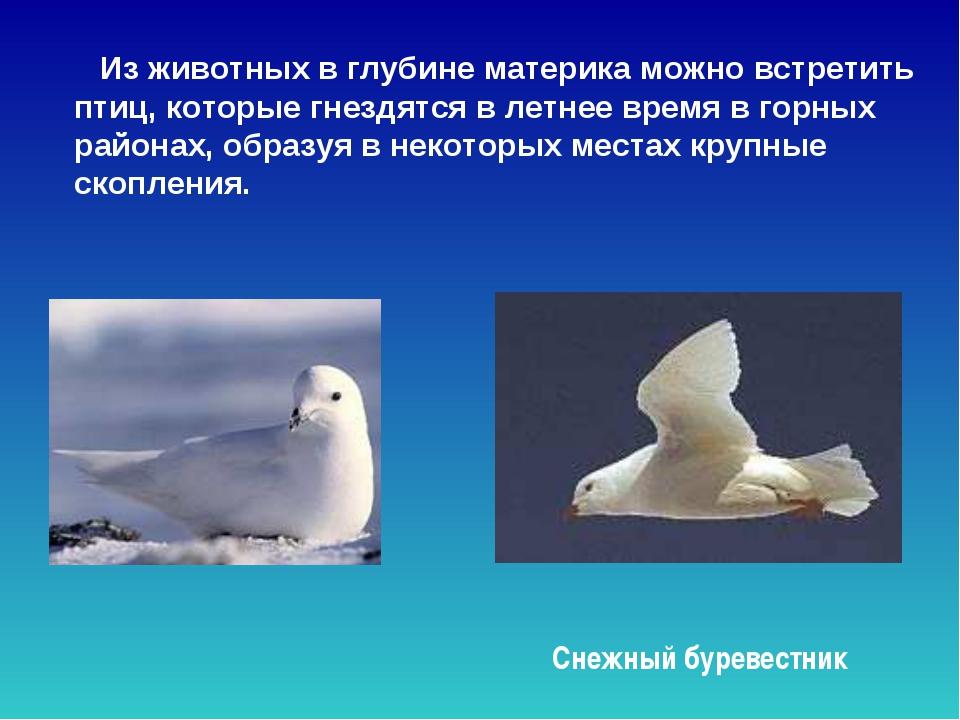 Из животных в глубине материка можно встретить птиц, которые гнездятся в лет...