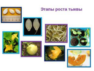 Этапы роста тыквы