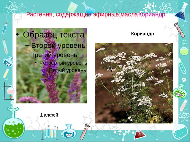 Растения, содержащие эфирные маслаКориандр Шалфей Кориандр