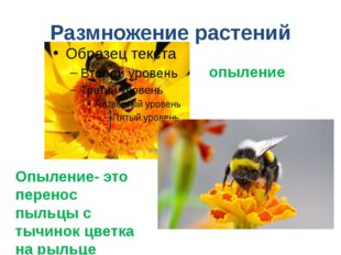 Размножение растений Опыление- это перенос пыльцы с тычинок цветка на рыльце