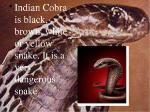 Indian Cobra is black, brown, white or yellow snake. It is a very dangerous s