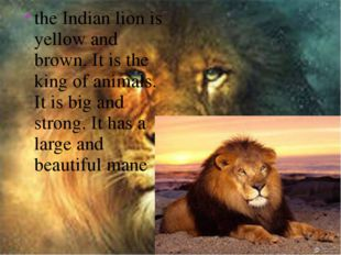 the Indian lion is yellow and brown. It is the king of animals. It is big and