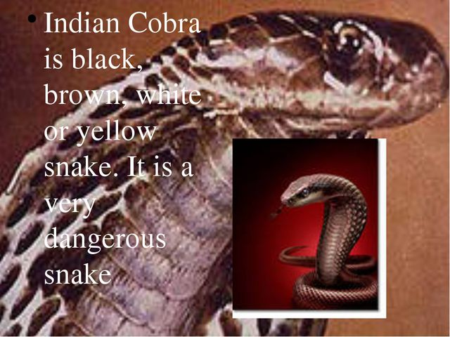 Indian Cobra is black, brown, white or yellow snake. It is a very dangerous s...