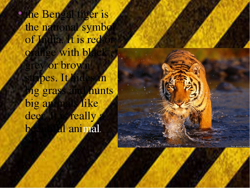 the Bengal tiger is the national symbol of India. It is red or orange with bl...