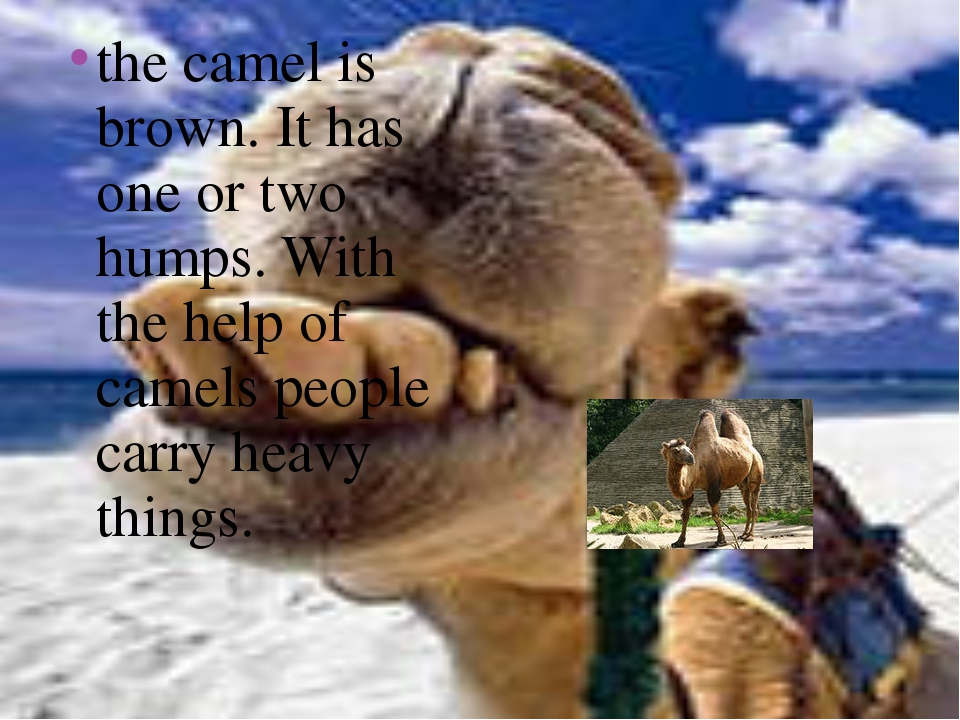 the camel is brown. It has one or two humps. With the help of camels people c...