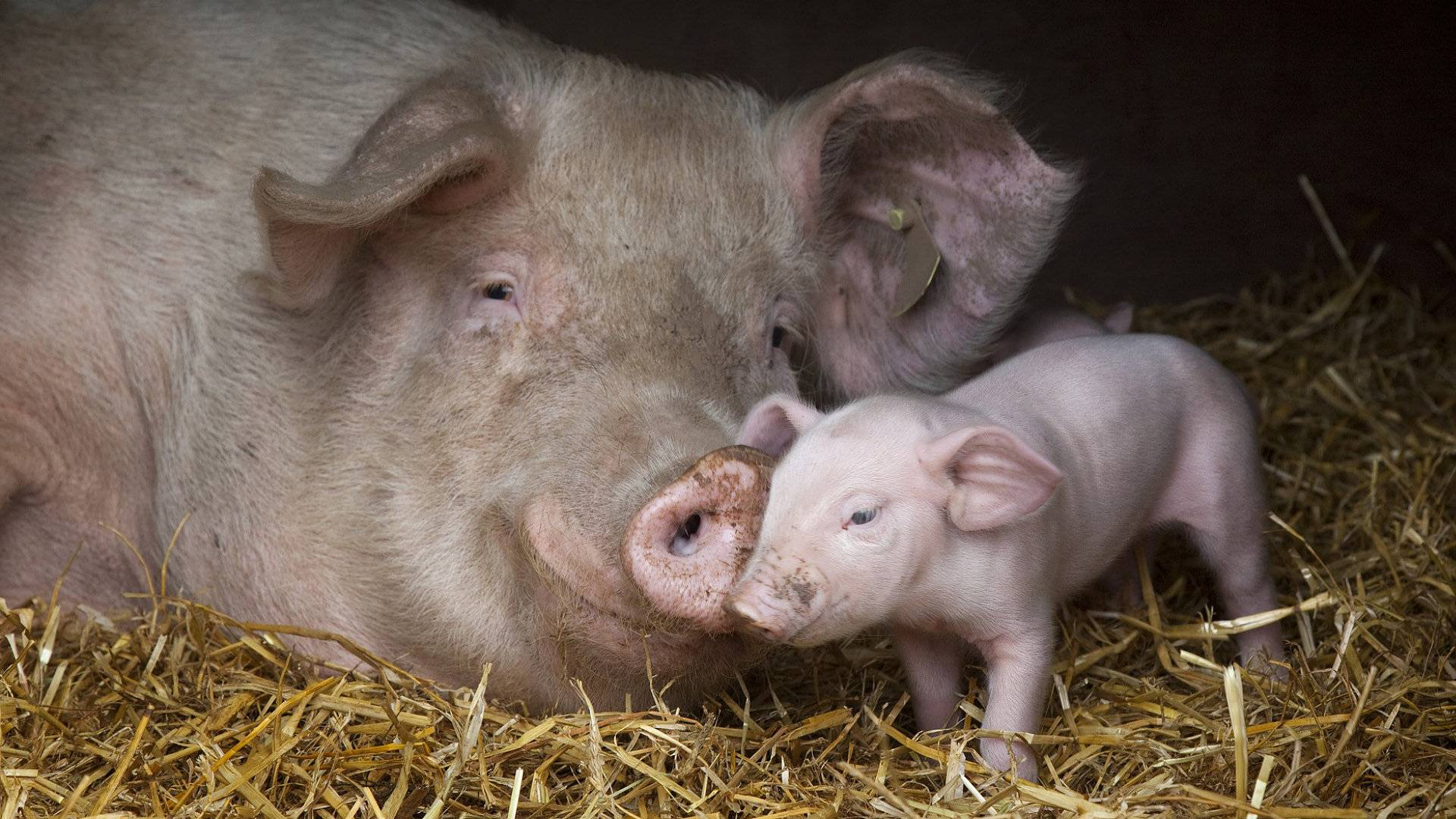 http://wallpaperhdwide.com/wp-content/gallery/pictures-of-baby-pigs/278460-animal-lovers-mother-and-baby-pig.jpg
