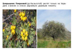 Боярышник Поярковой (до 6м высотой) растёт только на Кара-Даге и внесён в спи