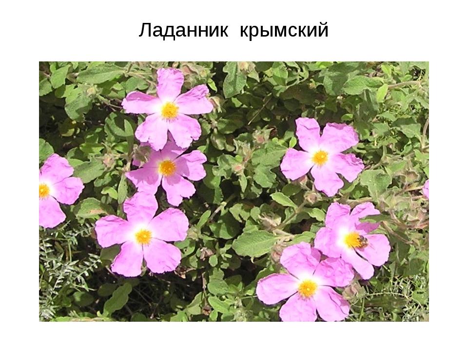 Ладанник крымский