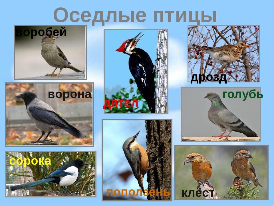 Оседлые птицы клёст воробей дятел ворона сорока голубь поползень дрозд