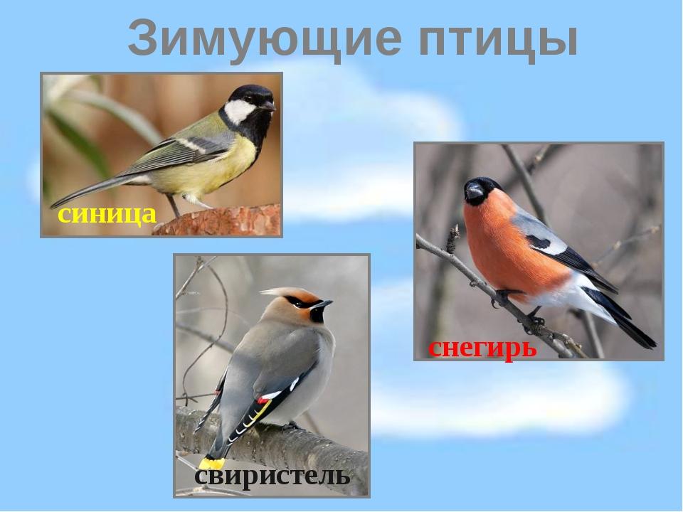 Зимующие птицы свиристель синица снегирь