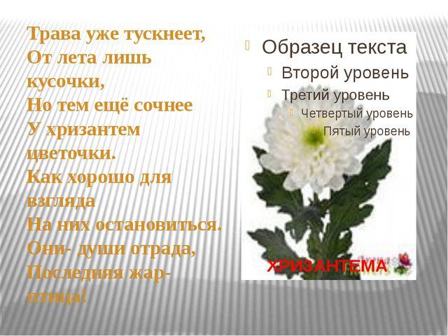 Трава уже тускнеет, От лета лишь кусочки, Но тем ещё сочнее У хризантем цвет...