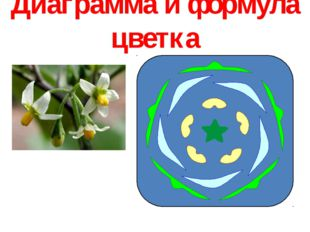 Диаграмма и формула цветка 1 П 5 Т 5 Л 5 Ч
