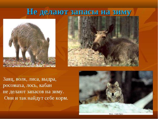 Не делают запасы на зиму Заяц, волк, лиса, выдра, росомаха, лось, кабан не де...