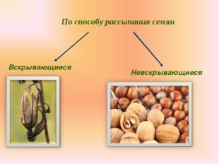 По способу рассыпания семян Вскрывающиеся Невскрывающиеся