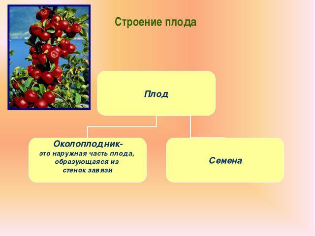 Строение плода