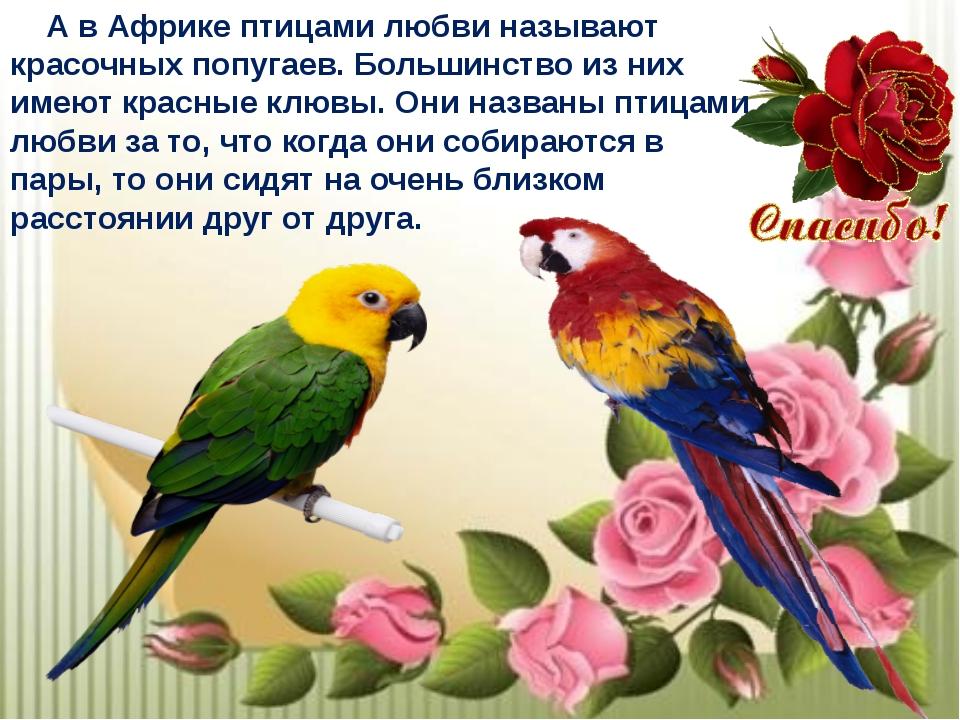 А в Африке птицами любви называют красочных попугаев. Большинство из них име...