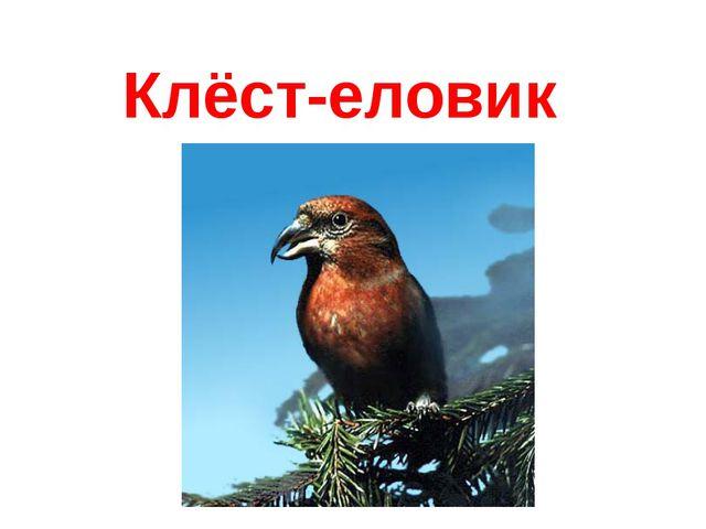 Клёст-еловик