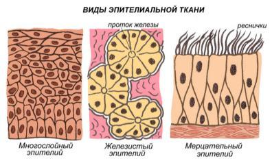 http://ebiology.ru/wp-content/uploads/2010/06/tkani1.jpg