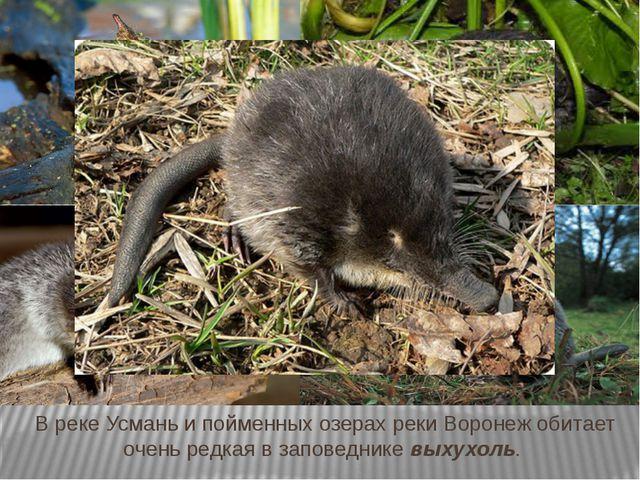 В реке Усмань и пойменных озерах реки Воронеж обитает очень редкая в заповедн...