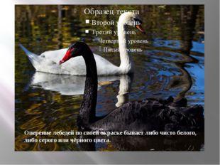 Оперение лебедей по своей окраске бывает либо чисто белого, либо серого или