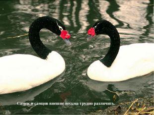 Самок и самцов внешне весьма трудно различить.