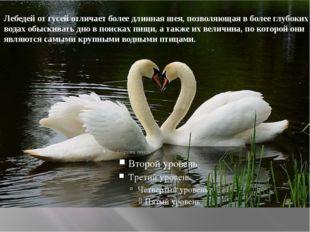 Лебедей отгусейотличает более длиннаяшея, позволяющая в более глубоких во