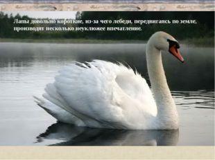 Лапы довольно короткие, из-за чего лебеди, передвигаясь по земле, производят