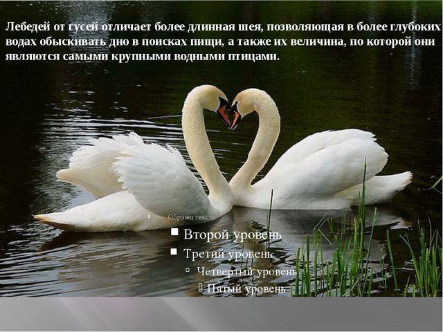 Лебедей отгусейотличает более длиннаяшея, позволяющая в более глубоких во...