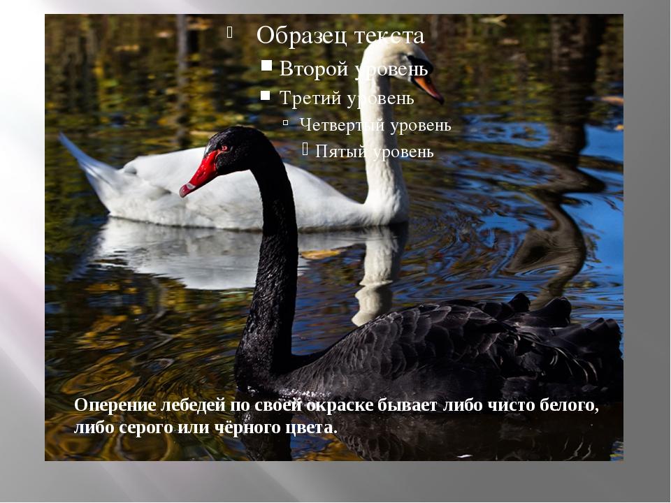 Оперение лебедей по своей окраске бывает либо чисто белого, либо серого или...