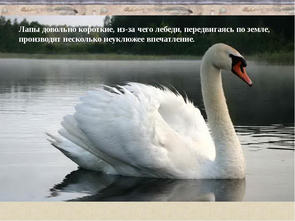 Лапы довольно короткие, из-за чего лебеди, передвигаясь по земле, производят...