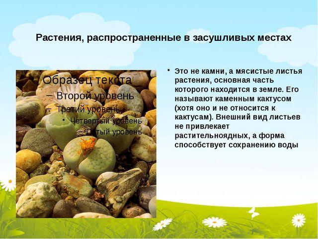 Растения, распространенные в засушливых местах Это не камни, а мясистые листь...