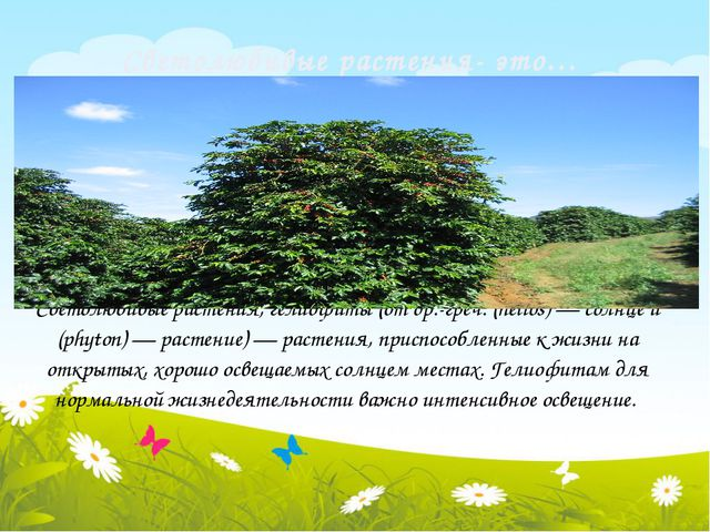 Светолюбивые растения- это… Светолюбивые растения, гелиофиты (от др.-греч. (h...