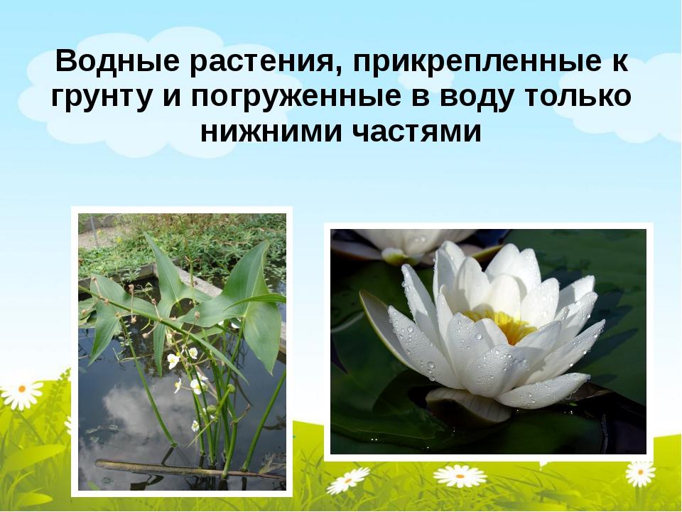 Водные растения, прикрепленные к грунту и погруженные в воду только нижними ч...