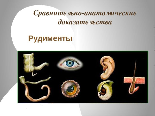 Сравнительно-анатомические доказательства Рудименты