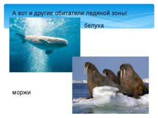 А вот и другие обитатели ледяной зоны! белуха моржи