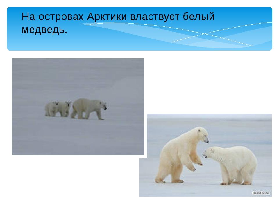 На островах Арктики властвует белый медведь.