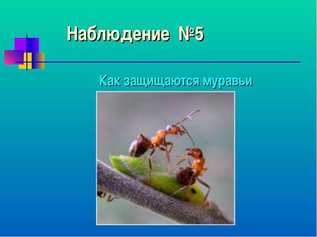 Наблюдение №5 Как защищаются муравьи