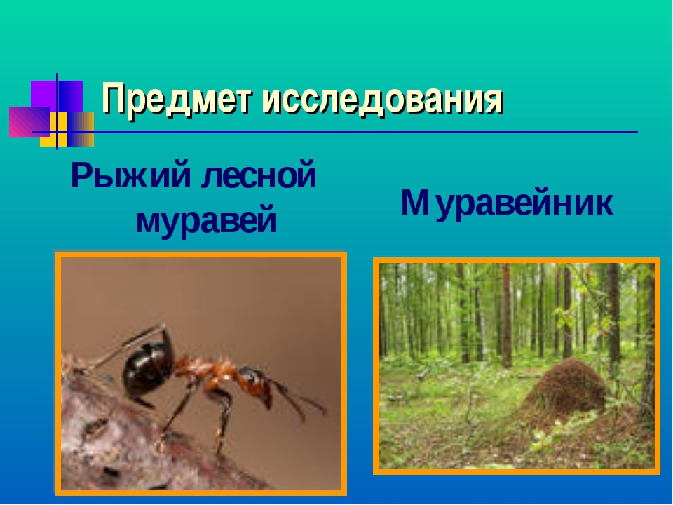 Предмет исследования Рыжий лесной муравей Муравейник