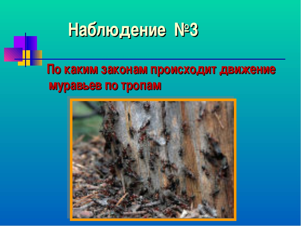 Наблюдение №3 По каким законам происходит движение муравьев по тропам