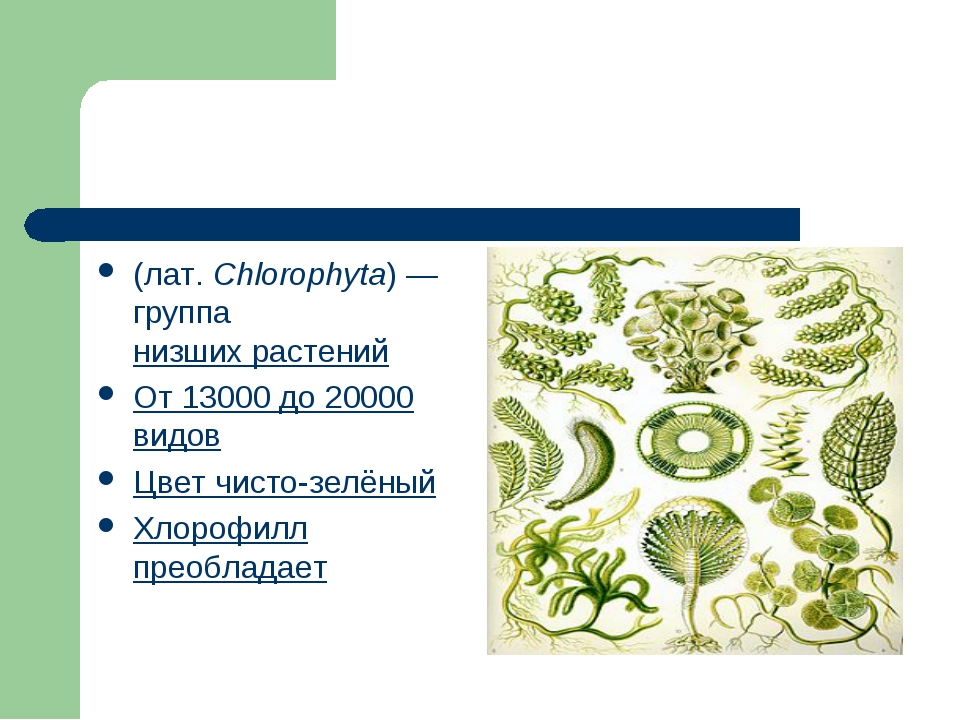 Зелёные во́доросли (лат.Chlorophyta)— группанизших растений От 13000 до 2...