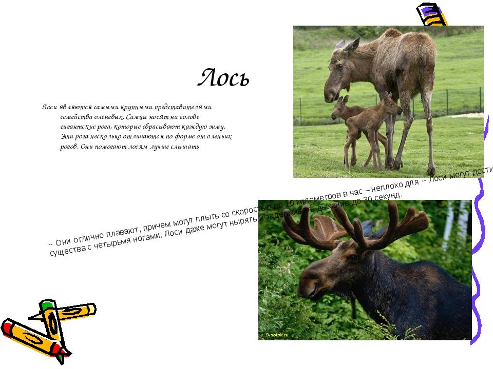 Лось Лоси являются самыми крупными представителями семейства оленевых. Самцы...