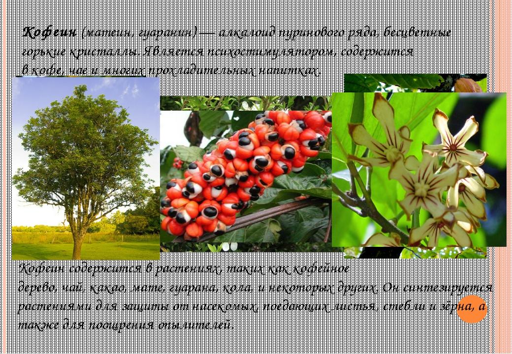 Кофеин(матеин, гуаранин)—алкалоидпуриновогоряда, бесцветные горькие крис...
