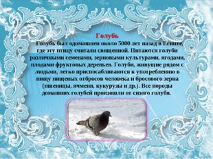 Голубь Голубь был одомашнен около 5000 лет назад в Египте, где эту птицу счит
