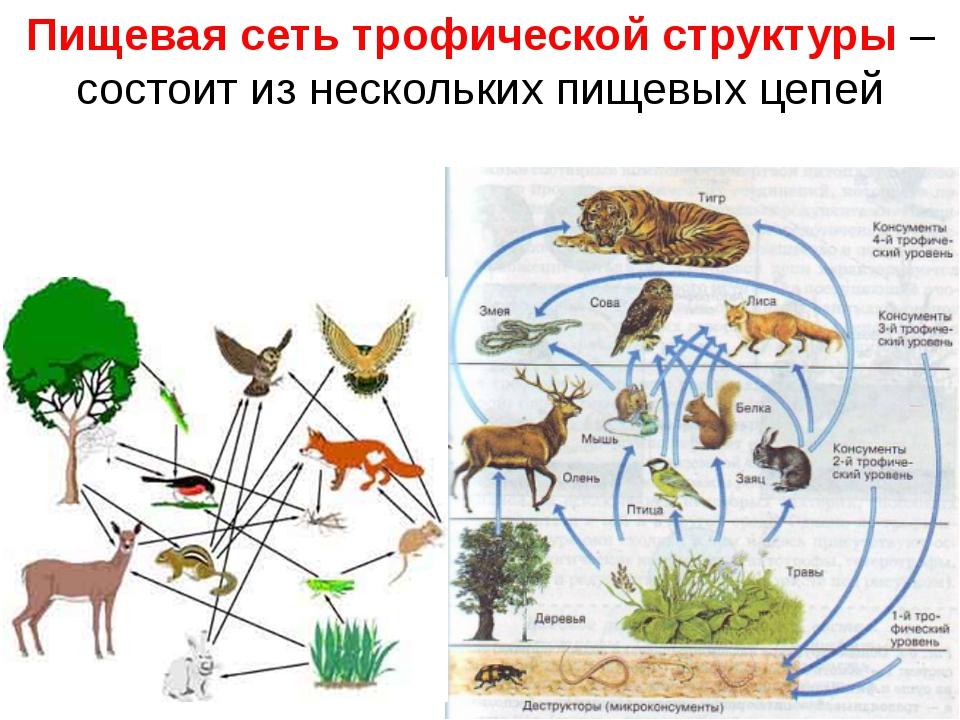 Пищевая сеть трофической структуры – состоит из нескольких пищевых цепей