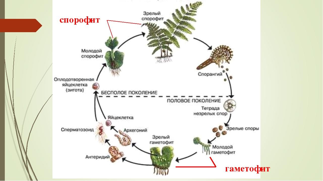 спорофит гаметофит