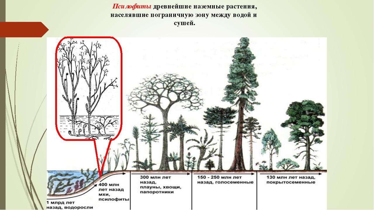 Псилофиты древнейшие наземные растения, населявшие пограничную зону между вод...