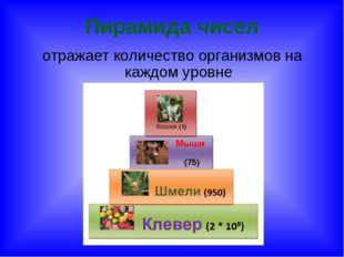 Пирамида чисел отражает количество организмов на каждом уровне